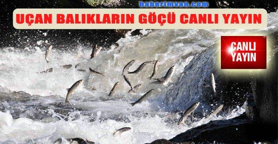 İnci Kefali Balık Göçü Festivali - Canlı İzle