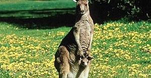 Hızla Yükselen Kanguru Nüfusu Hakkında İlginç Çağrı