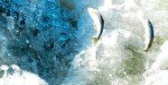 Uçan Balıkların Muhteşem Göçü Başladı