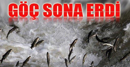 İnci Kefali Balığının Göçü Sona Erdi