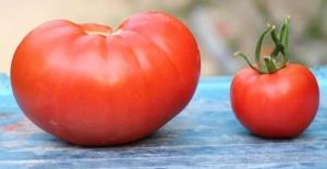 Bu domateslerin tanesi 1 kilo!