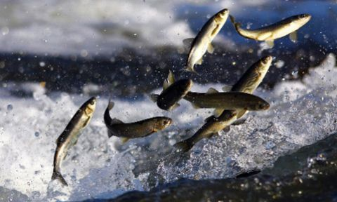 Van Balığının Muhteşem Göçü Başladı